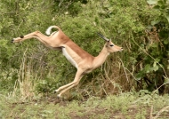 Impala jumping for joy