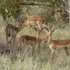 Impalas – group of females