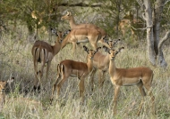 Impalas – group of females