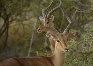 Impalas – 2 males