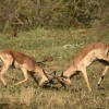 Impalas fighting – mating time