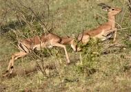 Impalas – pursuit of the loser