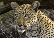 Leopard – female
