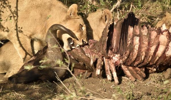 Lion on a Buffalo carcass