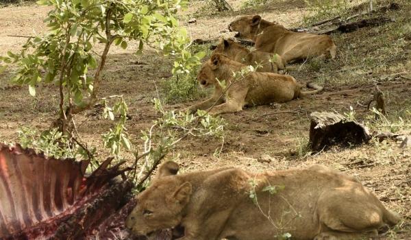 Lions full up