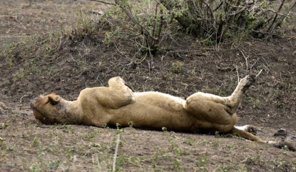 Lion full up enjoying life