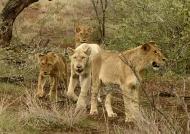 Shish pride & White Lion