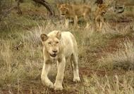 Amazing White Lion