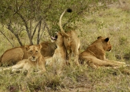 Lion bawdy place ?
