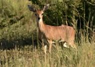 Steenbok – male