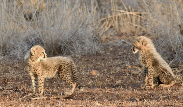 Two small cubs