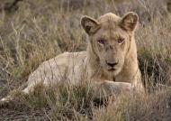 White Lion – male
