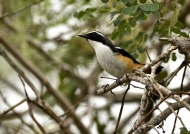 White-throated Robin-chat