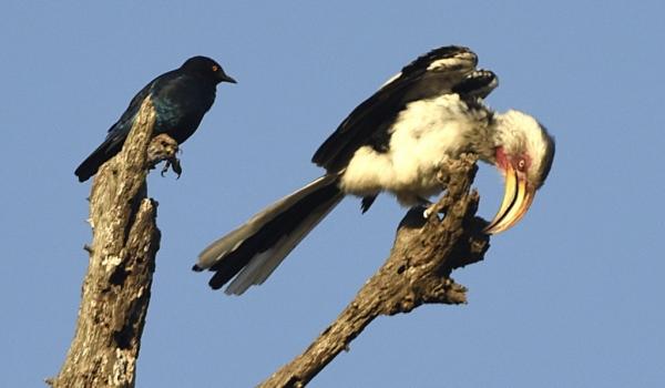 Hornbill&cape glossy Starling