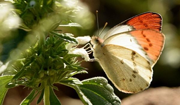 Scarlet Tip Butterfly