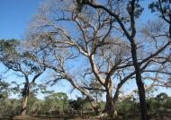 Sycamore Fig & Rain trees