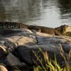 Nile Crocodile resting on rocks