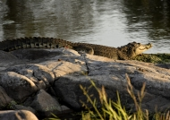 Nile Crocodile resting on rocks