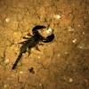 Tree Creeping Scorpion