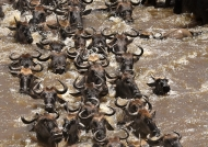 Herd of wildebeest swimming