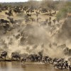 This herd of Wildebeests…