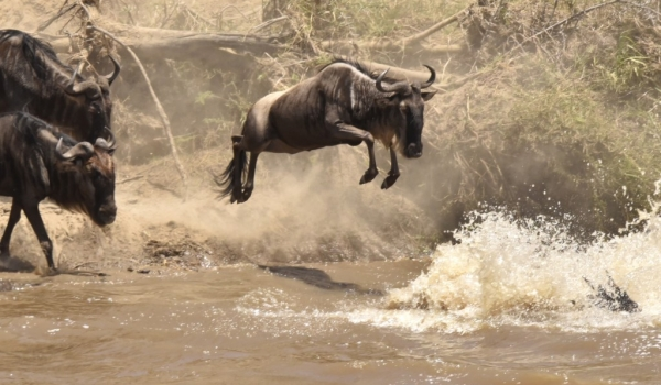 …Wildebeests  are jumping