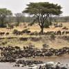 Wildebeest gathering…
