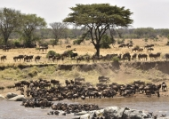 Wildebeest gathering…