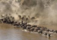 …to cross the Mara River