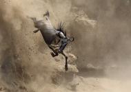 North Tanzania – Gnu jumping a 20 foot cliff