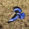 North Tanzania – Grey-headed Kingfisher