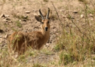 Bohor Reedbuck – male