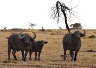 Buffaloes staring at us