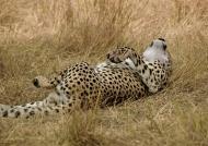 Cheetah happy to live!