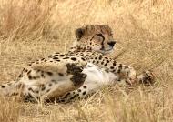 Cheetah – male
