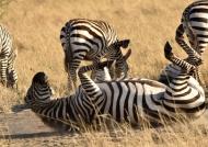 Common Zebra rolling in dust