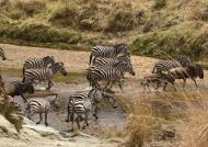 Zebras moving around…