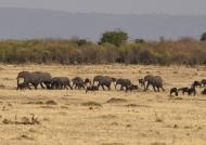Elephants crossing the plain