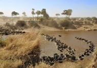 Wildebeests crossing the river