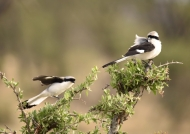 Grey-backed Fiscals