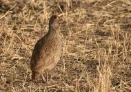 Grey-breasted Spurfowl