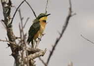 « Great Bee-eater day today! »