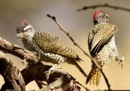 Nubian Woodpeckers – couple
