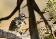Woodpecker – young female
