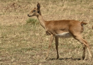 Oribi – female