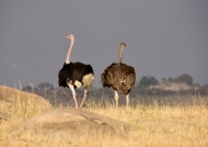 Ostriches – couple