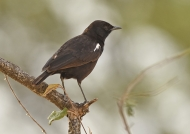 Sooty Chat – male