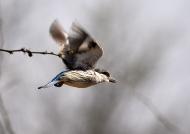 Striped Kingfisher – juv.