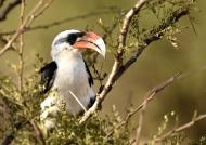 TZN Red-billed Hornbill – m.