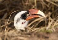 TZN Red-billed Hornbill – m